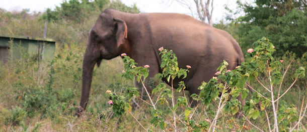 Asian elephant near farms