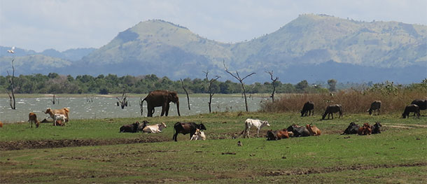 Elephant-and-cows-panorama