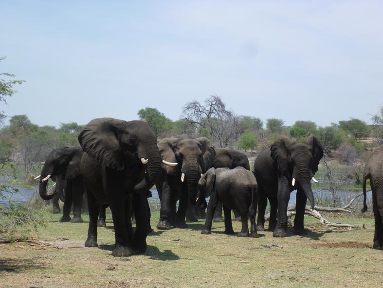 Boteti Elephants