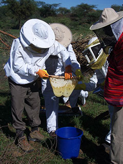 Honey harvesting of beehive fences