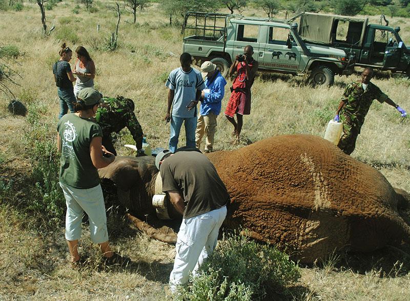KING-collaring-in-Samburu1