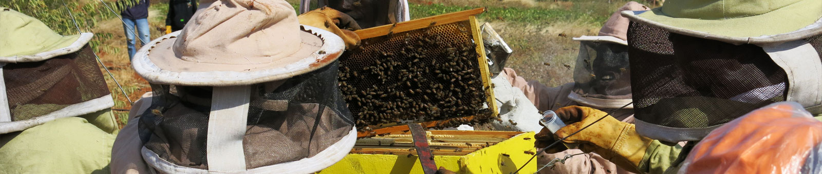 Harvesting langstroth hives