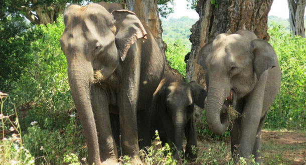 SRI-LANKA-Elephant-family