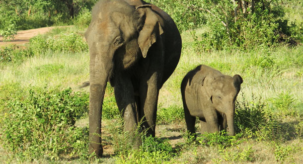 SRI-LANKA-Elephant-mum-and-calf