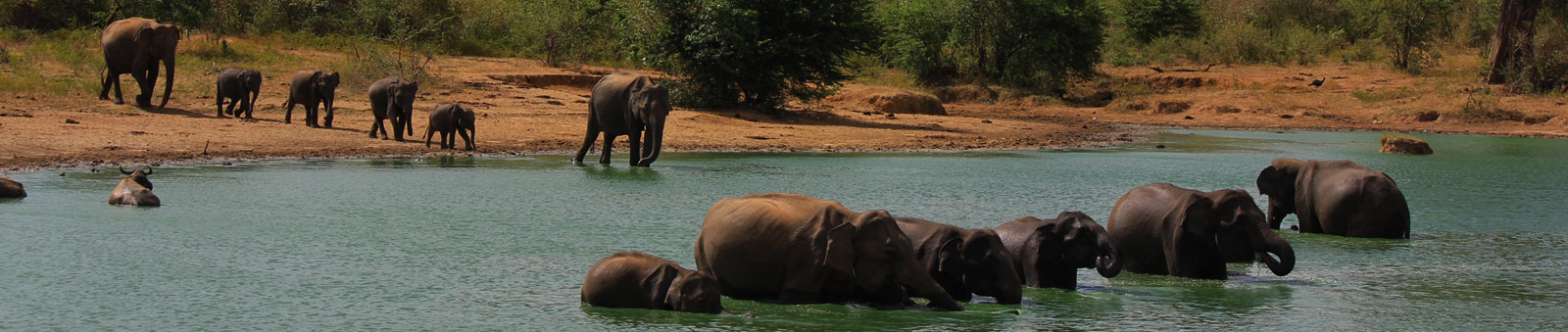 Elephants-in-Lake-Sri-Lanka