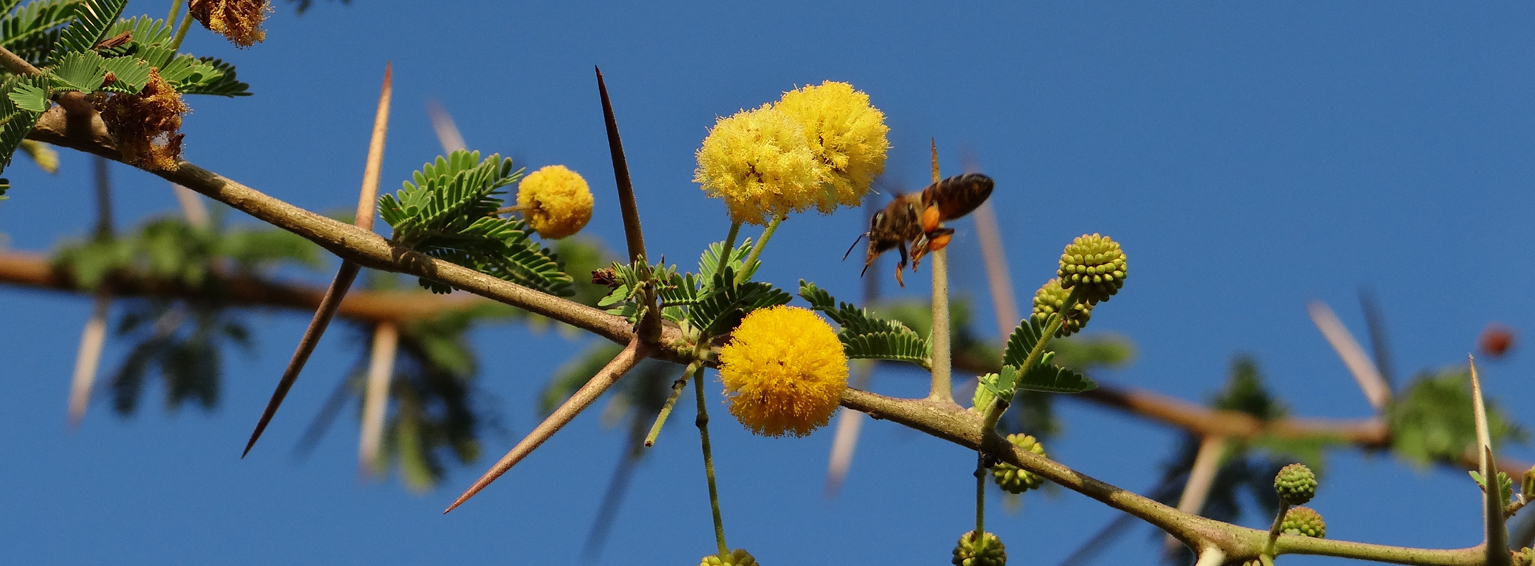 Bee on acacia flowers