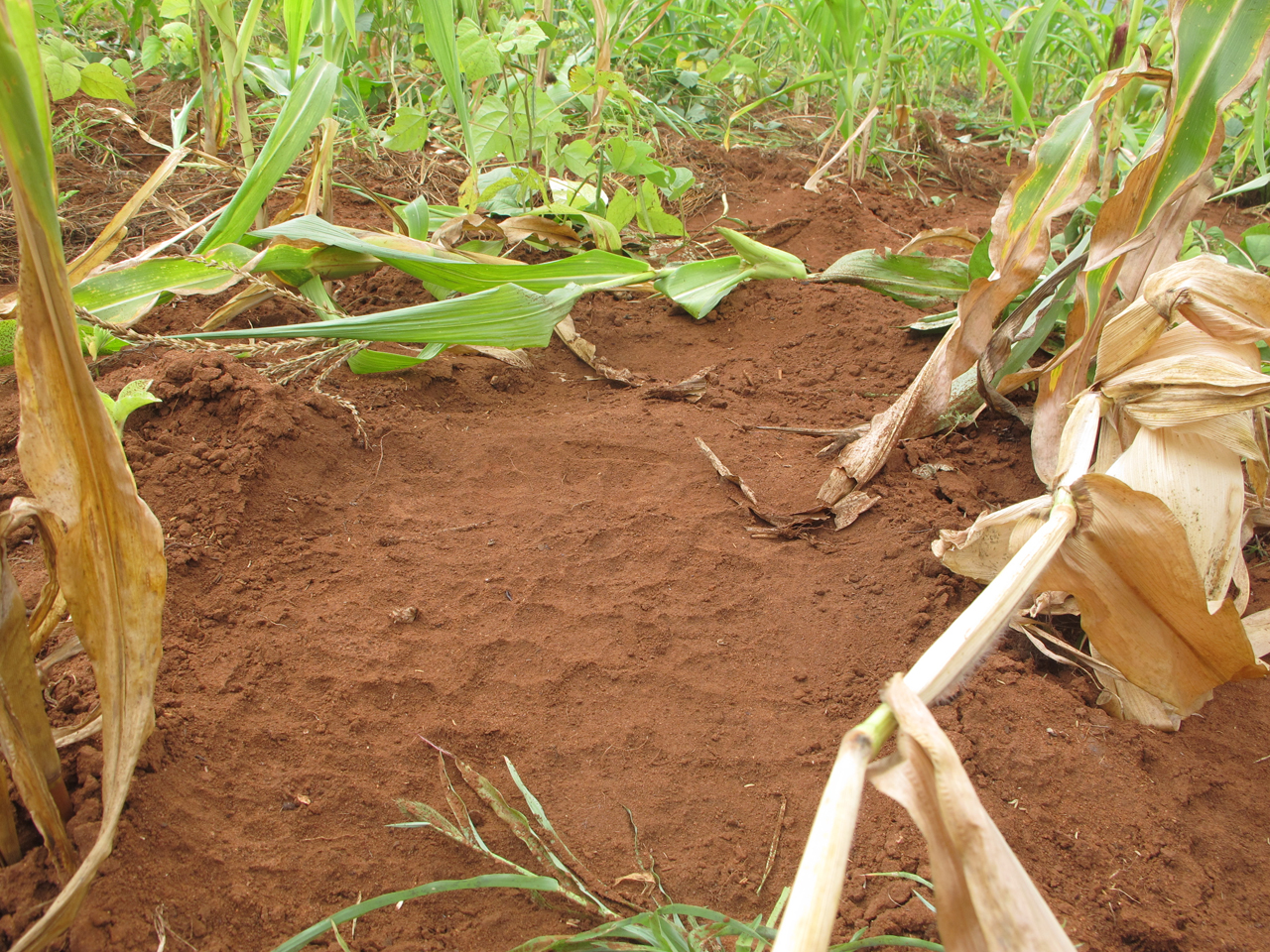 CROP-RAIDING-Damaged-crops