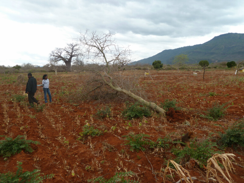 CROP-RAIDING-PROJECT-The-tree-the-eles-dropped