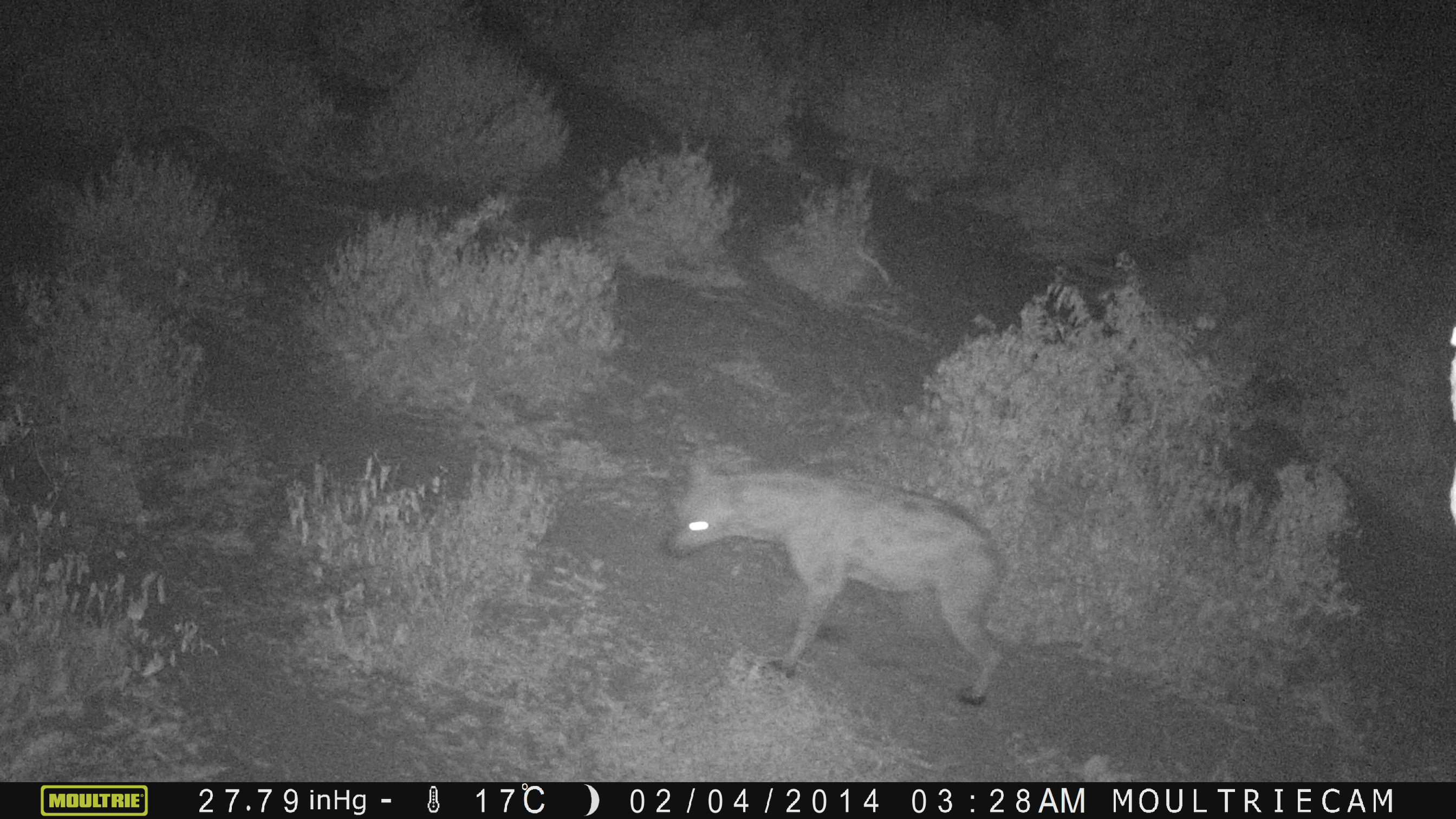 MAMMAL-MONITORING-Spotted-Hyena-on-camera-traps