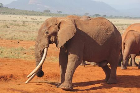 KING Great Tusker left ear 7 Nov 2015 (ss)