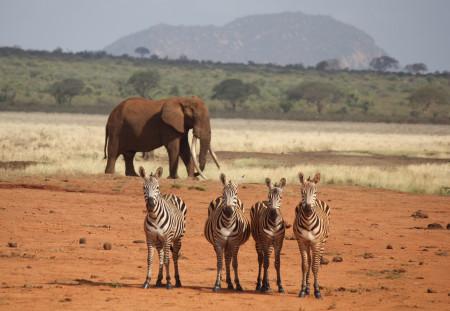 KING Great Tusker - with zebra 7 Nov 2015 (ss)