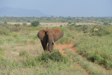 Aggressive bull elephant encounter