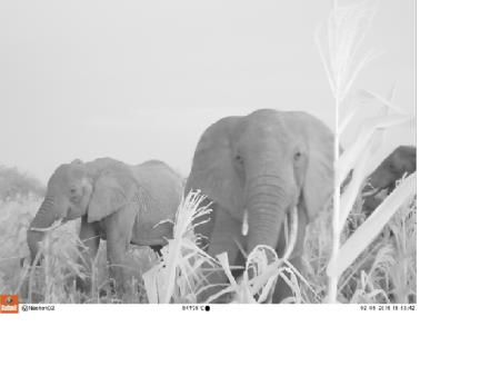 Elephants captured on the camera traps