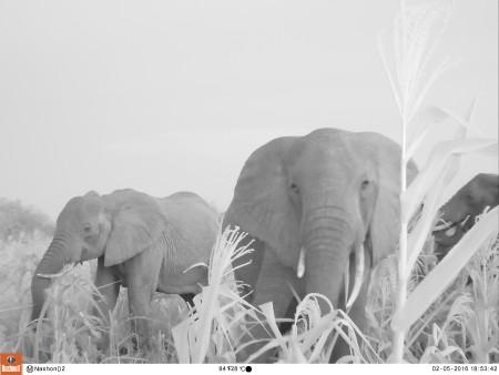 Camera trap footage of elephants raiding Nashon's farm
