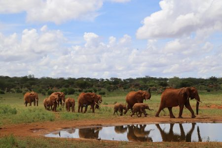 A heard of elephants approaching a water hole