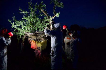Honey harvesting at night