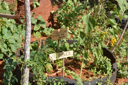 The permaculture Shamba - labels showing sunflower and chilli