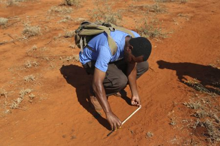 Emmanuel measuring the diameter of elephant foot prints to gauge what age the elephants we are tracking are.