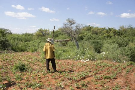 Farmer observing his beehive fence
