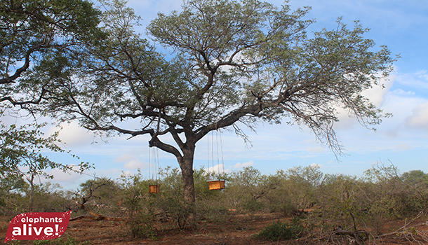 Beehives-in-Tree-2-2
