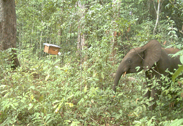 SN-Elephant-staying-away-from-an-experimental-saccoglotis-tree-equiped-with-a-colonised-beehive
