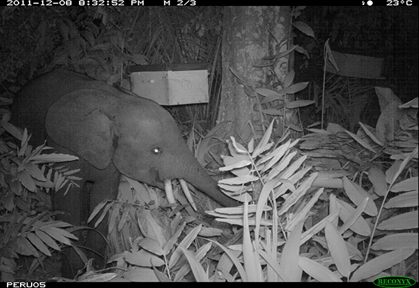 SN-a-young-elephant-feeding-at-night-on-an-Irvingia-experimental-tree