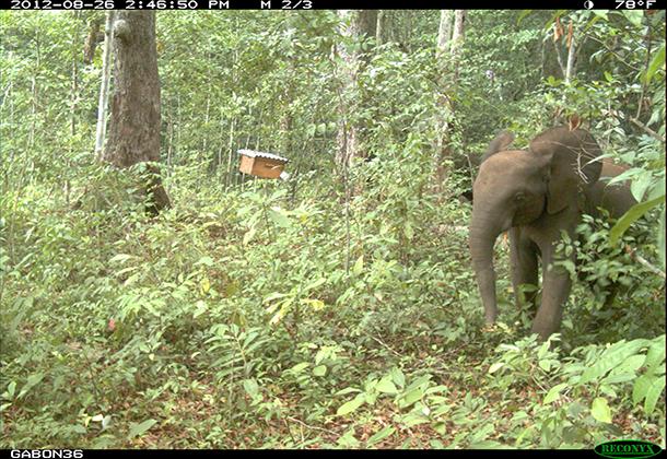 SN-an-elephant-avoiding-an-experimental-saccoglotis-tree-with-a-colonised-hive