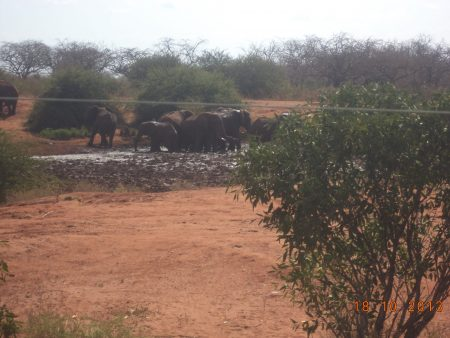 Early morning sighting of elephants having just crossed the Tsavo East fence line back into the park.