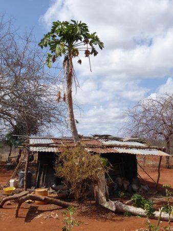 The destruction caused by crop raiding elephants outside Ileli's home.