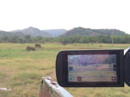 Capturing video footage of the herd during evening behavioral observations