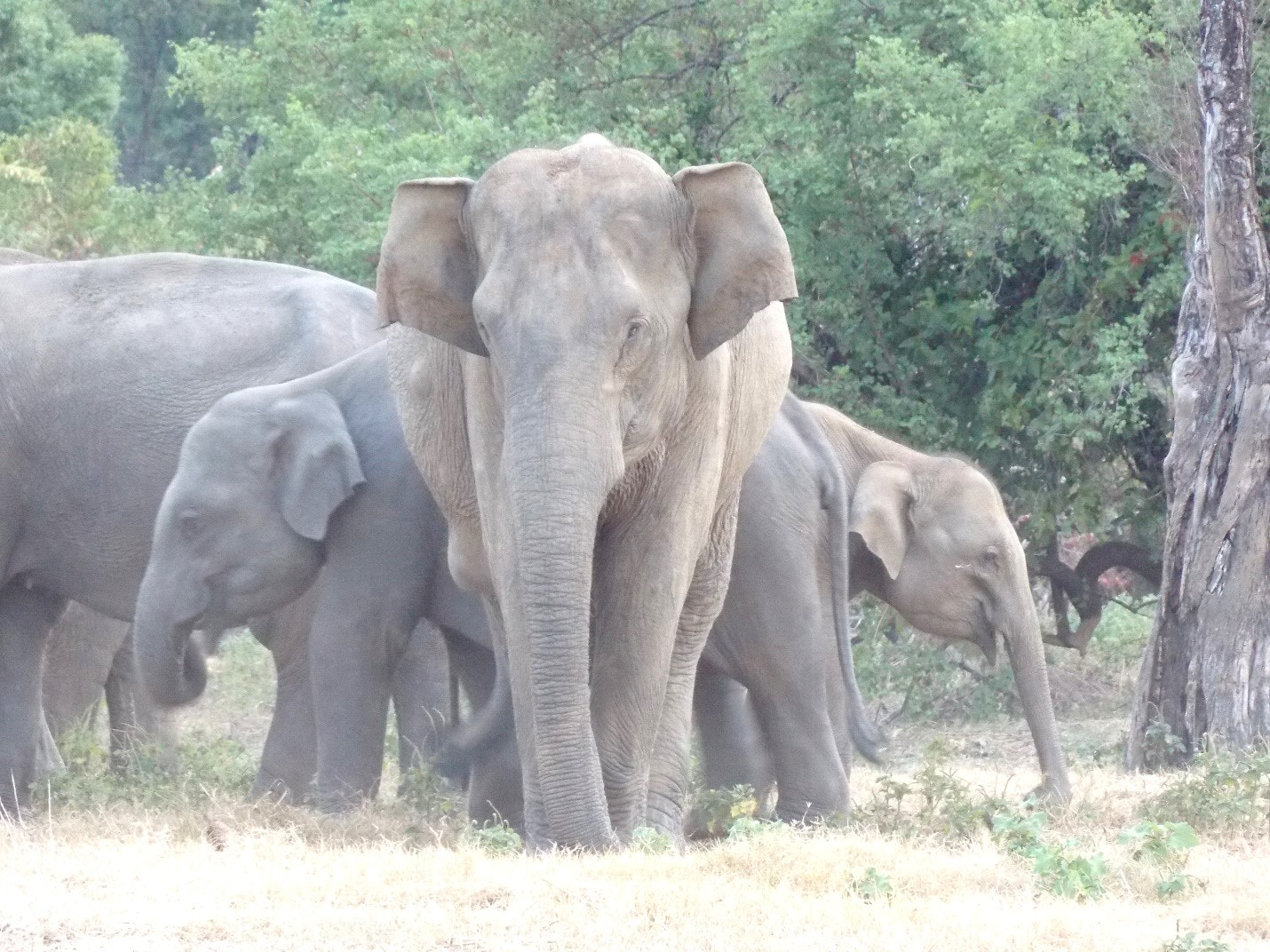 An elephant observed at the tank with large lumps due to gunshot trauma