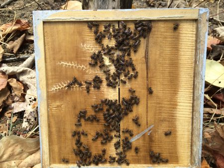 A look at the honeybees on the top lid of the hive