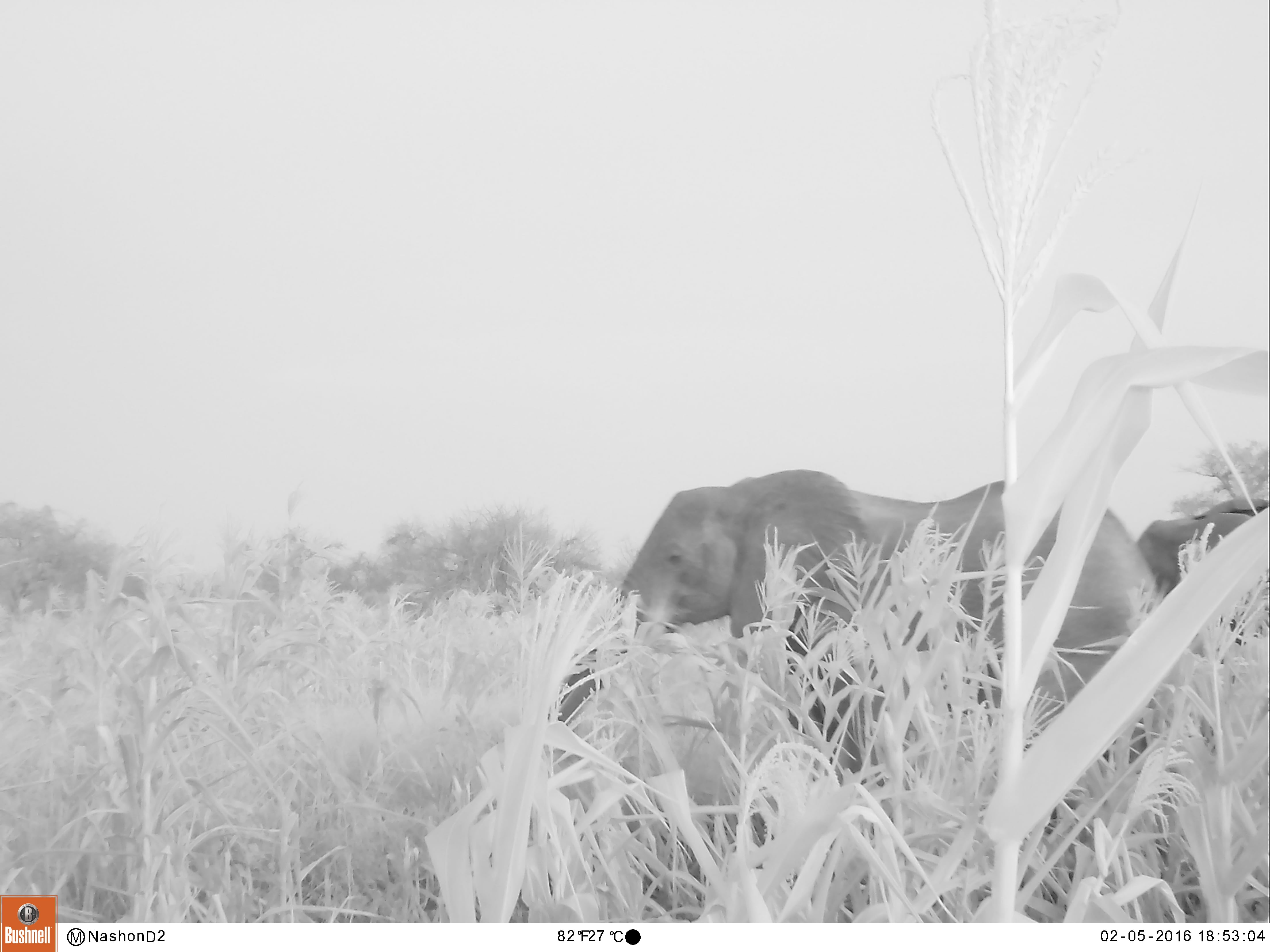 A spectacularly clear picture of an elephant among the maize plants