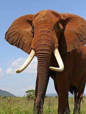 A curious bull in Tsavo East National Park