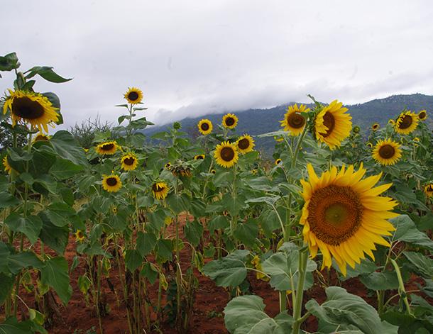George-troup-sunflower